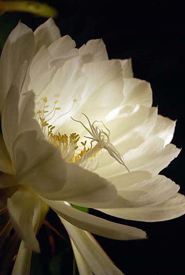 It Is A Beautiful Night Blooming Flower Named After The Hindu Brahma Native To China India And Burma